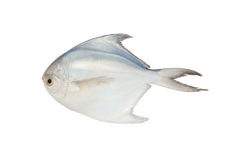 Butter fish Royalty Free Stock Photography
