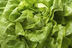 Butter-head lettuce Royalty Free Stock Photography