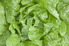 Butter Head Lettuce Stock Image