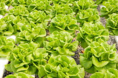 Butter head Lettuce Royalty Free Stock Photo