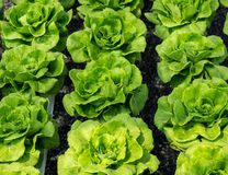 Butter head lettuce Royalty Free Stock Images
