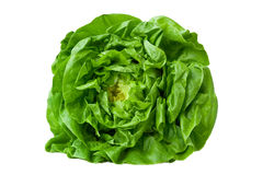 Butter Lettuce royalty free stock image