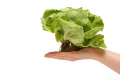 Butter lettuce Royalty Free Stock Photo