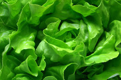Butter Lettuce Background Stock Photography