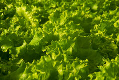 Butter Lettuce. Full frame close up photo of a Butter Lettuce Royalty Free Stock Photos