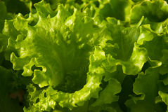 Butter Lettuce. Full frame close up photo of a Butter Lettuce Stock Photo