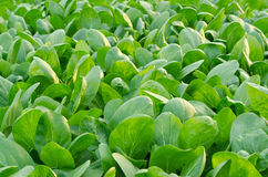 Butter Lettuce Head. royalty free stock images