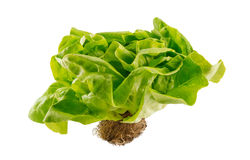 Butter Lettuce. Isolated Butter Lettuce With The Root royalty free stock images