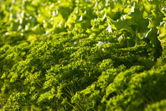 Butter lettuce and parsley. Full frame close up photo of a Butter lettuce and parsley Stock Image