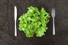 Butter lettuce salad in soil with fork and knife Stock Photo