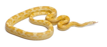 Butter mothley Corn Snake or Red Rat Snake Royalty Free Stock Photos