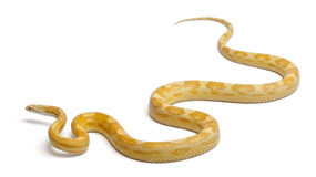 Butter mothley Corn Snake or Red Rat Snake. Pantherophis guttatus, in front of white background Stock Photo