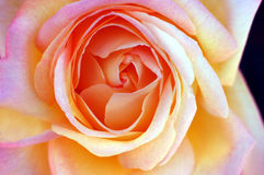 Butter Rose Royalty Free Stock Image
