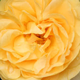 Butter rose close-up Royalty Free Stock Photography