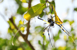 Butter spider. This great evilness of the yellow is misterious royalty free stock photos