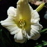 Butter yellow daylily flower/ plant  hemerocallis Royalty Free Stock Photo
