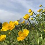 butterblume Stockbild