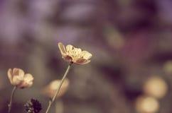 butterblume Lizenzfreie Stockbilder