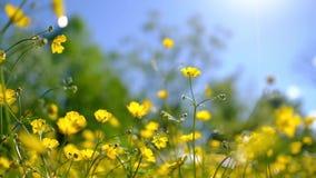 Butterblume blüht auf einem Gebiet, das leicht in eine Brise wellenartig bewegt stock video footage