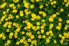 Butterblume-Feld Lizenzfreie Stockbilder
