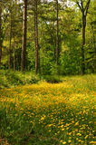 Butterblume-Wiese lizenzfreies stockfoto
