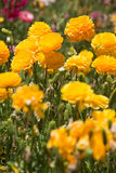 Butterblumeblumenfeld Stockfoto