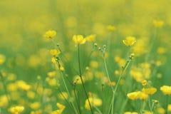 butterblumeen stockbild