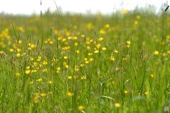 butterblumeen stockbilder