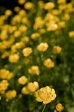Butterblumeen in der Blume im Abschluss oben lizenzfreies stockbild