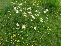 Butterblumeen und Gänseblümchen auf dem Gebiet stockfotos