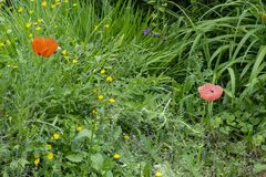 Butterblumeen und rote Mohnblume stockfotografie