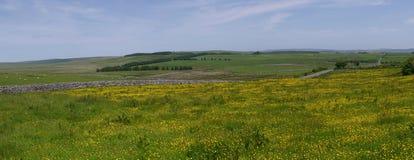 Butterblumefeld in Nationalpark Süd- West-England Dartmoor Stockfotos
