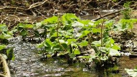 Butterbur in a creek stock video