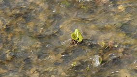 Butterbur in a creek Royalty Free Stock Photo