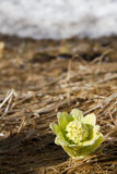Butterbur flower stalk. In Japan, Butterbur flower stalk has meant that spring has come stock images