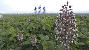 Butterbur Petasites hybridus. Bikers on dike with butterbur flower in the front Royalty Free Stock Photos
