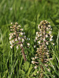Butterbur - Petasites hybridus Stock Photography