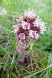 Butterbur (Petasites hybridus or officinalis). In the meadow Royalty Free Stock Images