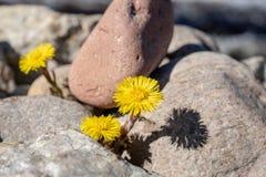 Butterburblommor i vårsolsken som between växer, vaggar royaltyfria foton
