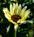 Buttercream Sunflower. This is a Summer picture of a Buttercream Sunflower in full bloom at the Chicago Botanic Garden located in Glencoe, Illinois in Cook stock images
