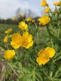 buttercup Fotos de Stock Royalty Free