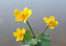 Buttercup. Yellow buttercup near the water Royalty Free Stock Image