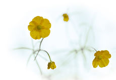 Buttercup Stock Images