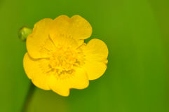 Buttercup Stock Image