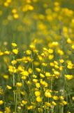 buttercup Royaltyfria Foton