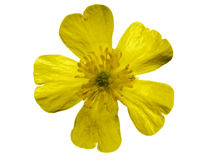 Buttercup. Isolated blossom if a yellow buttercup blossom in front of a white background Stock Image