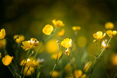Buttercup Royalty Free Stock Photography