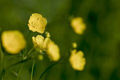 Buttercup. S at spring Stock Photography