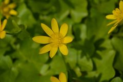 Buttercup - all the colors of spring stock photography