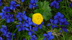 buttercup surrounded by gentians Royalty Free Stock Images